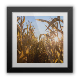 Rob Wallace Photography Corn Field / Martinsville, IL
